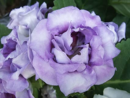 Amazon 20 Lavender Lisianthus Flower Seeds Annual Great