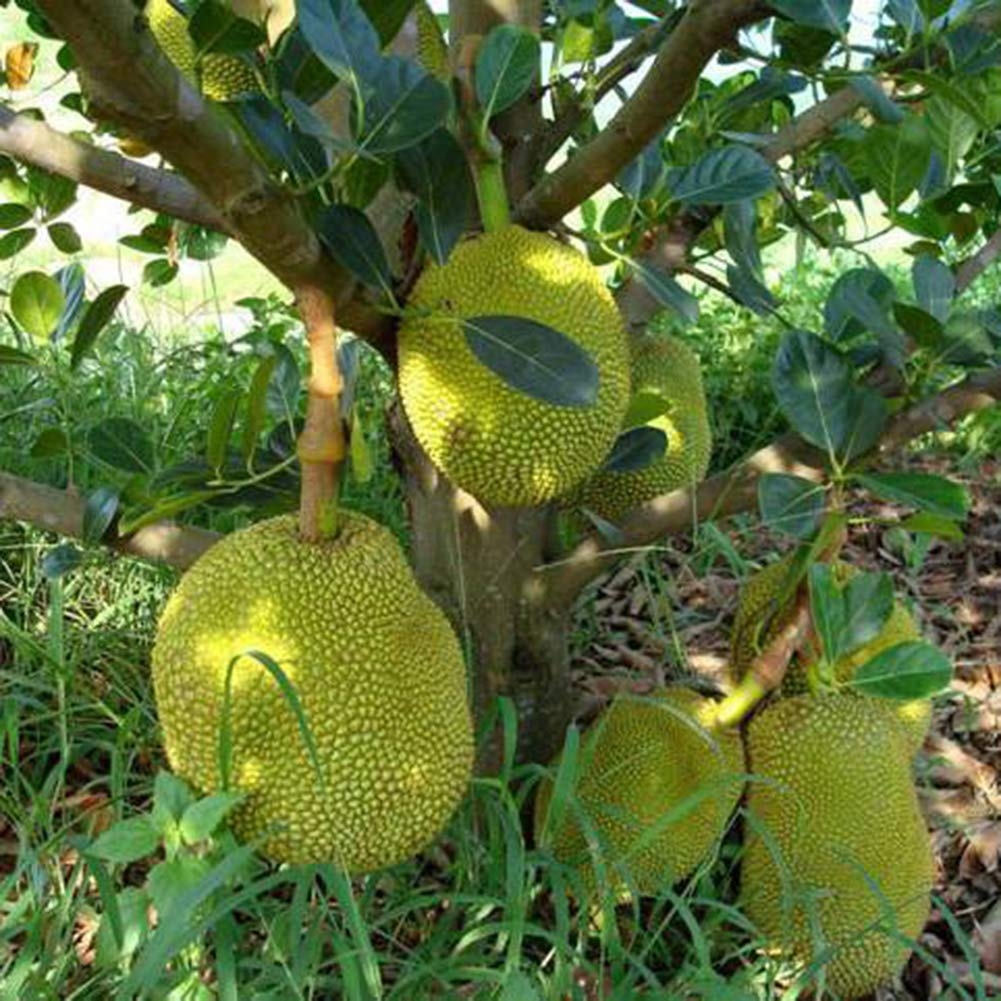 LOadSEcr's Garden 5Pcs Organic Fresh Jack Fruit Seeds Non-GMO Ornamental Plants Yard Office Decoration, Open Pollinated Seeds - Jack Fruit Seeds