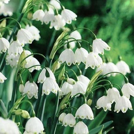 50 or 100 Puschkinia Libanotica Bulbs You choose 25 100 FREE P/&P Millthorpe Plant Centre Russian Snowdrops