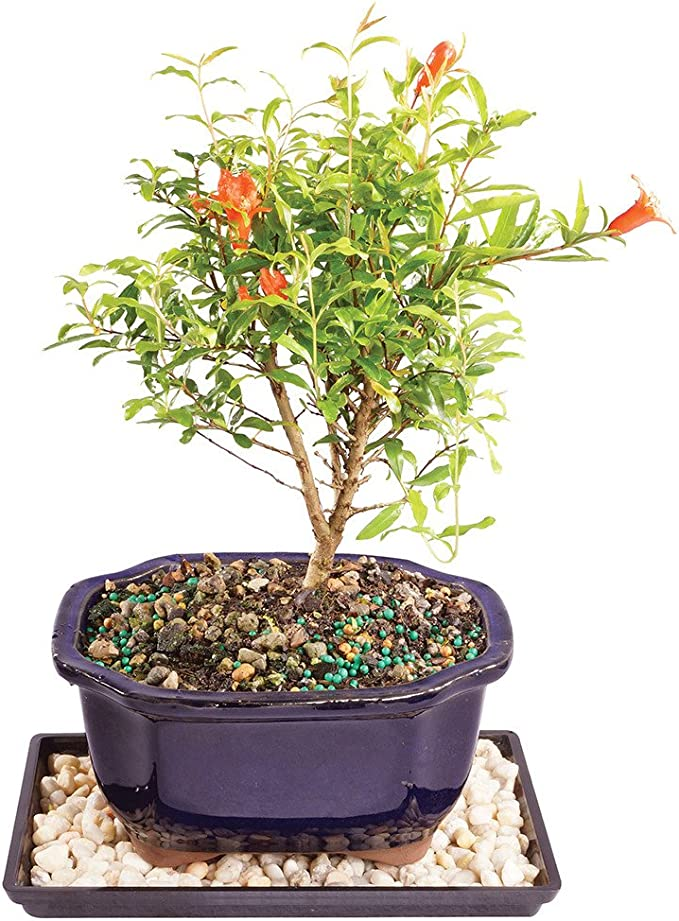 Amazon Com Brussel S Live Dwarf Pomegranate Indoor Bonsai Tree 5 Years Old 8 To 12 Tall With Decorative Container Humidity Tray Deco Rock Garden Outdoor