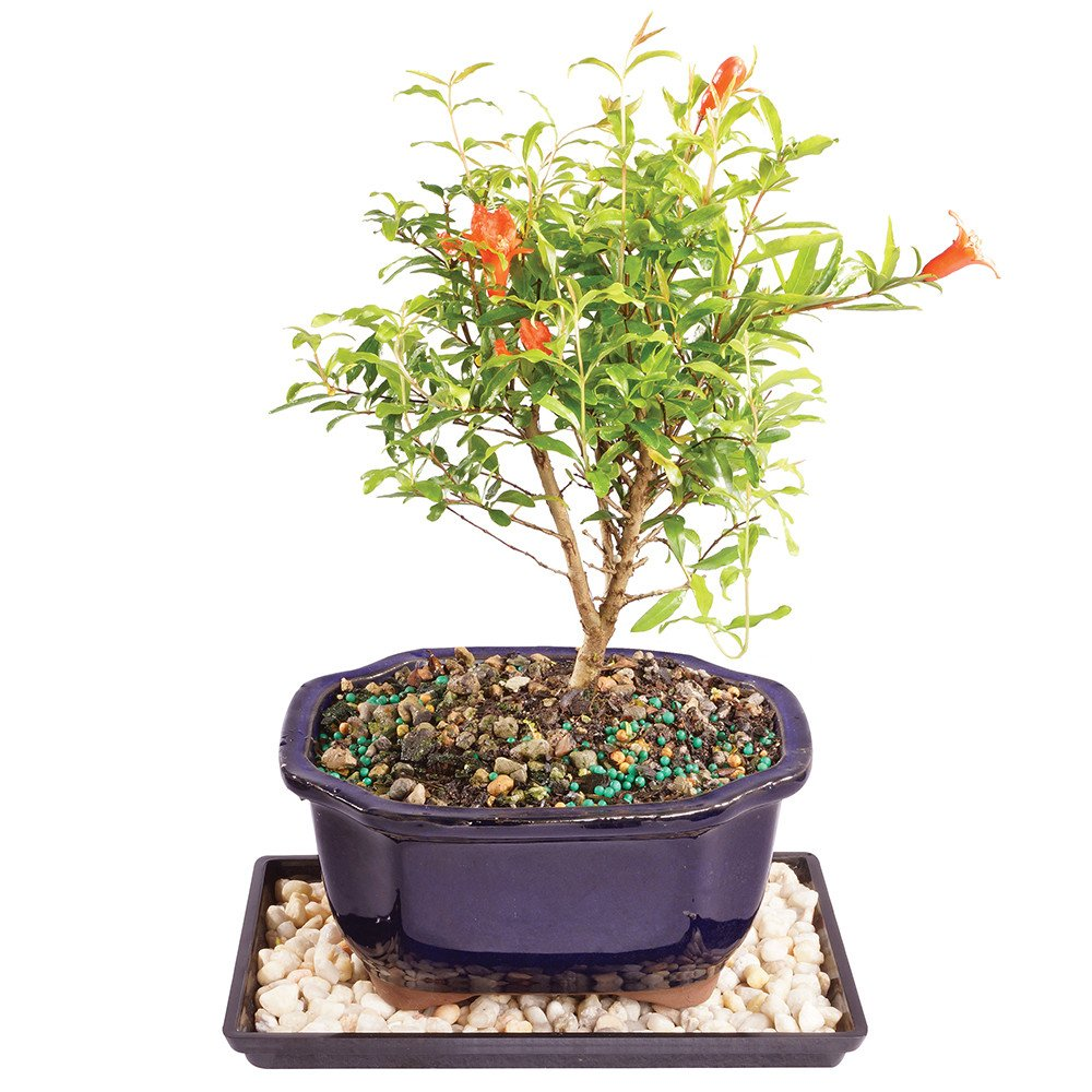 Indoor garnet: how to care. Pomegranate Houseplant: Cultivation, Reproduction 14