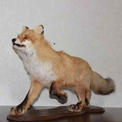 Amazon com : SIBERIAN RED FOX TAXIDERMY MOUNT - TAXIDERMIED