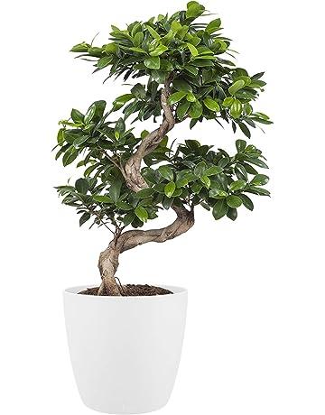 BOTANICLY | Plantas naturales – ficus con maceta blanca como un conjunto | Altura: 70