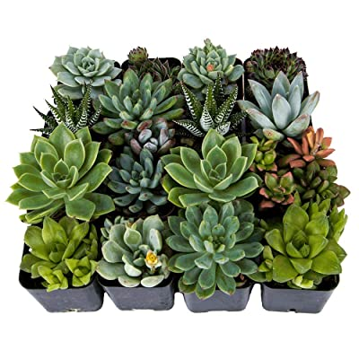 DecoBlooms Unique Succulent Plants (Collection of 16) - Fully Rooted in Planter Pots with Soil - Real Live Potted DIY Assorted Succulents: Grocery & Gourmet Food