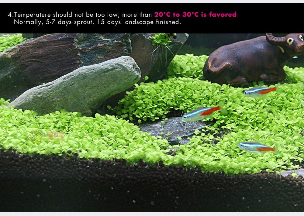 Semillas de plantas acuáticas,Hoyoo,Semillas acuáticas Hierba,Plantas de acuario en vivo Bonsai Decoración,Plantas Acuario Decoración semillas de césped ...