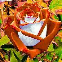 Fastdirect Graines de Rosier Robe de Déesse Semences Rosiers Polyanthas Parfumé Bricolage Jardinage Cadeau 40 PCS Multi-couleur Disponibles