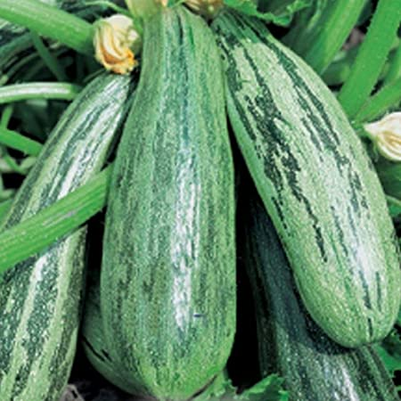 Vegetable Marrow 10 Seeds Long Green Bush