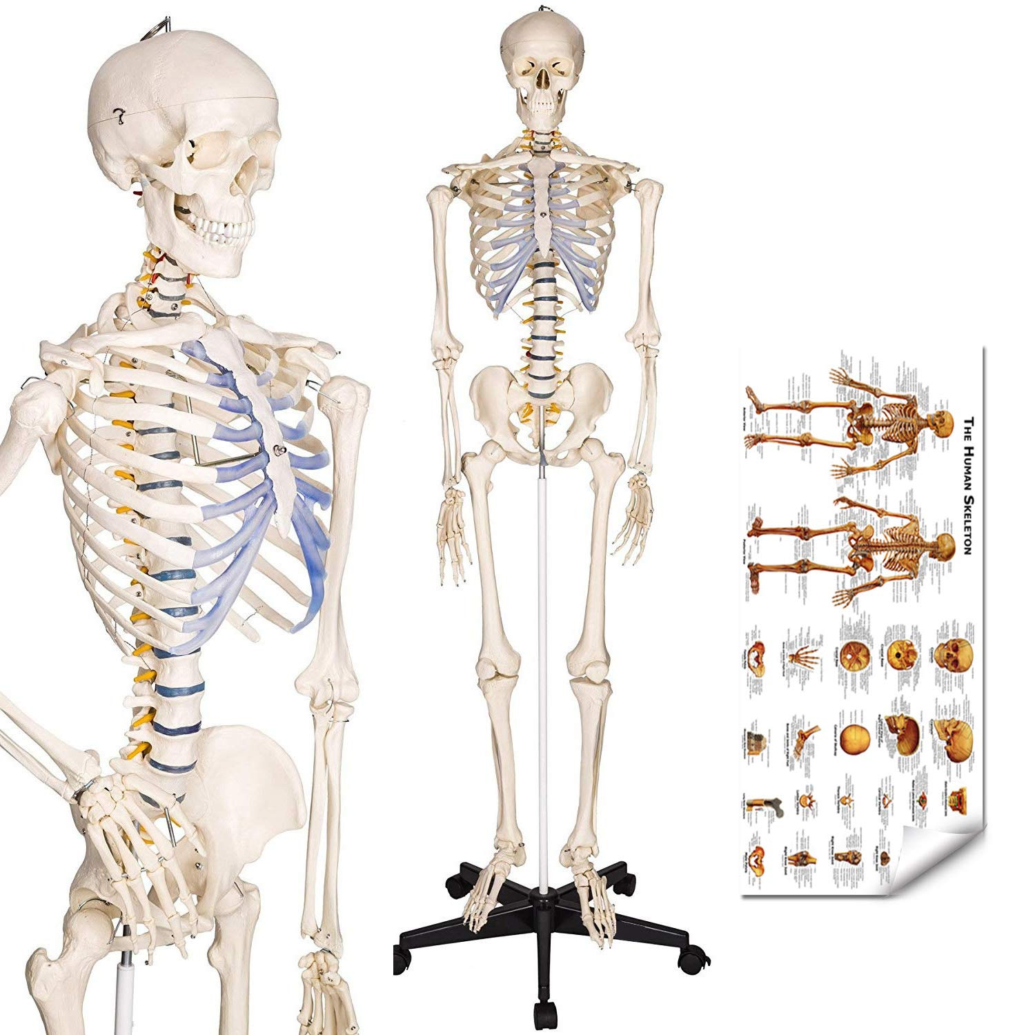 Image of Charts & Posters RONTEN Human Skeleton Model, Anatomical Skeleton lifesize 70.8 in, Including Booth + Cover + Poster