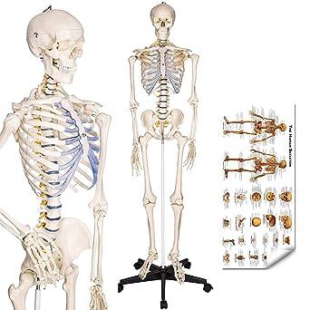 RONTEN Human Skeleton Model, Anatomical Skeleton lifesize 70.8 in ...