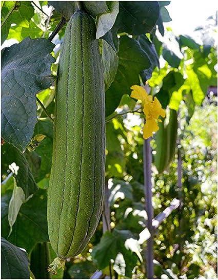 Luffa Cylindrica Planta de Esponjas 1 Paquete Semillas