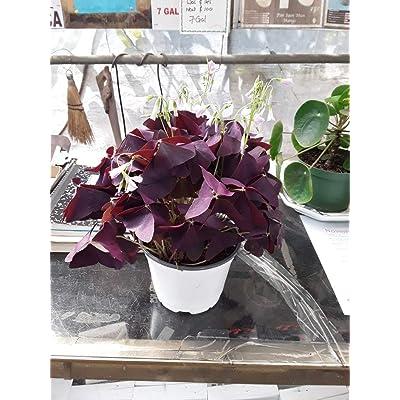 """AchmadAnam - Live Plant - Rare Purple Rain Shamrock Plant - 4"""" Tall - Ship in 6"""" Pot. E9 : Garden & Outdoor"""