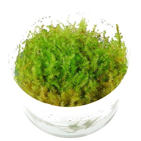Tropica Vesicularia dubyana Christmas / Navidad musgo 1 - 2-grow Tissue Culture