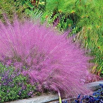 Kisshes Seedhouse - 100pcs graines de Fétuques plantes ...