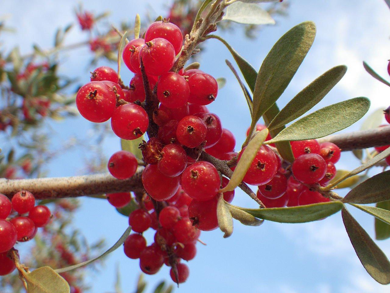 15 Silver Buffaloberry Shepherdia Argentea Seeds Tree Seeds Combsh Outlet Www