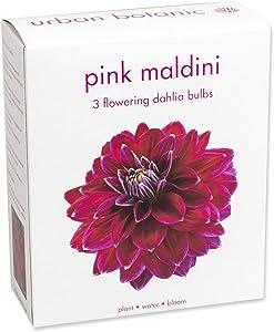 3 Large Dahlia Tubers (Bulbs) | Pink Maldini | Bloom All Summer Long