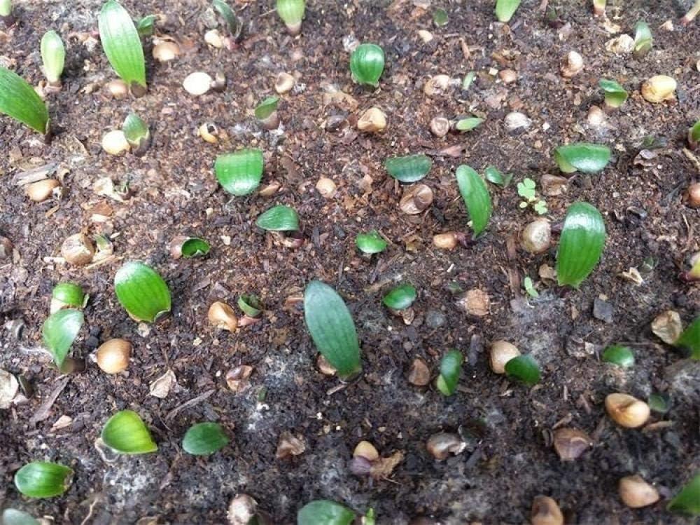 Semillas de Flores Balcones,Green Plant Flower Potted Large Flower Clivia Seed 5 Pack-Sol Rojo,Semillas de Flores Multicolores