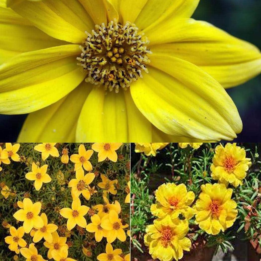 TOMASA Seedhouse- Girasol Bidens Taka-Tuka Rarezas Hierba Planta Oro Marie Bidens Semilla Semillas de flores perennes Hardy Bee-Friendly para jardín de flores Rocalla: Amazon.es: Jardín