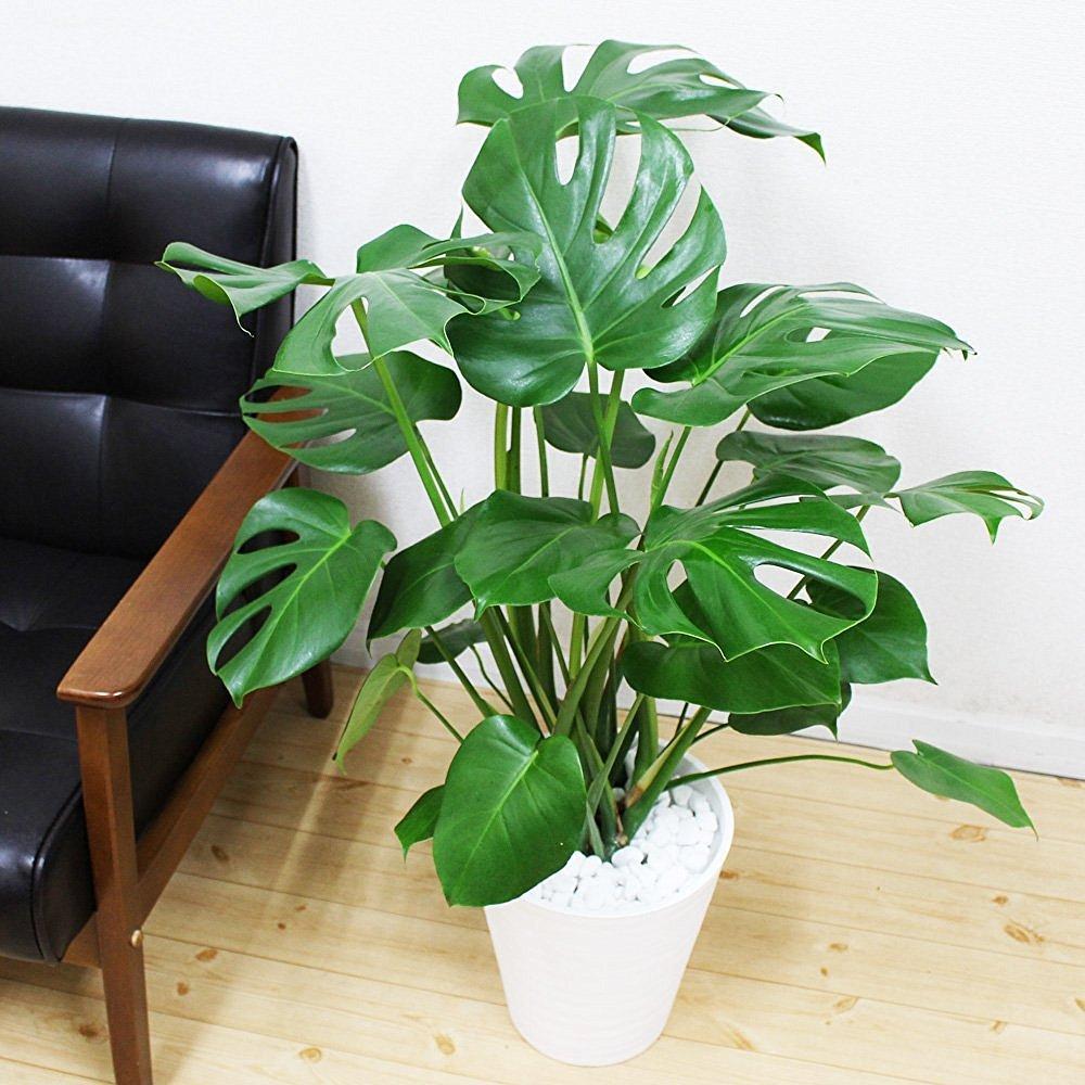 モンステラ 観葉植物 インテリア 大型 大 ホワイトセラアート鉢 8号 B01HS30VWS