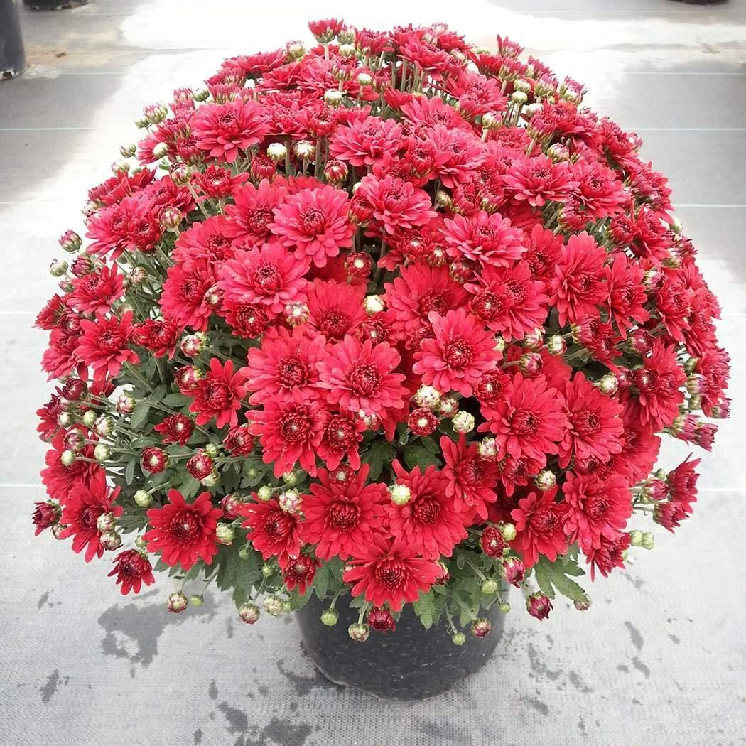 Cioler 100pcs Chrysantheme Samen Bodendecker Winterhart Mehrj/ährig Bonsai Pflanzensamen Blumensamen