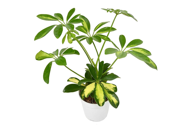Picture of Live Dwarf Umbrella Plant aka Schefflera Arboricola VariegataFoliage Plant Fit 1QRT Pot