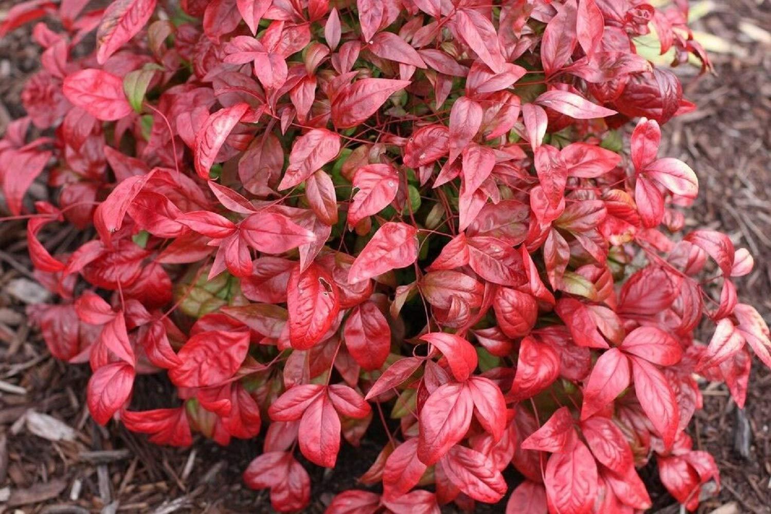 10 Plants Dwarf Nandina Firepower N1 by owzoneplant (Image #5)