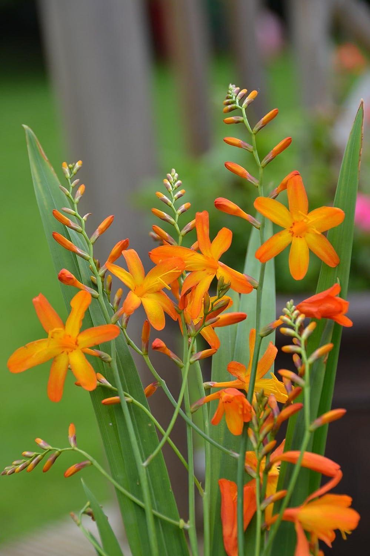 50 Montbretia Crocosmia Mixed Bulbs Summer Flowering