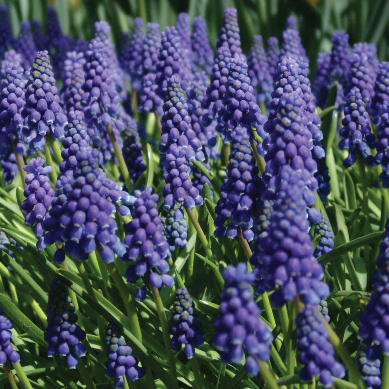 Burpee Blue Grape Muscari | 15 Large Flowering Fall Bulbs for Planting, Purple by Burpee