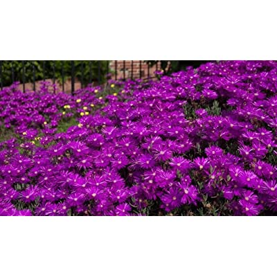 NEW! 50+ DELOSPERMA PURPLE ICE PLANT FLOWER SEEDS /PERENNIAL : Garden & Outdoor