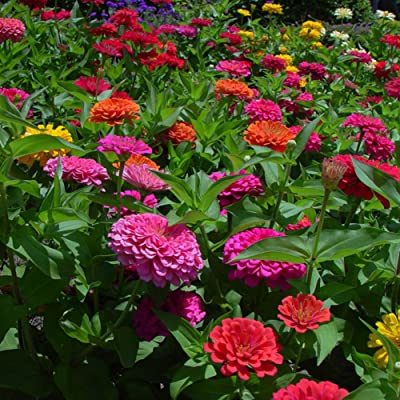 100pcs Zinnia Bonsai Zinnia Seeds DIY Home Garden Flower Easy Growing Potted Plants : Garden & Outdoor