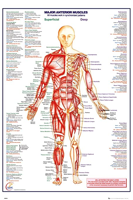 Amazon Human Body Major Anterior Muscles Poster 24 X 36in