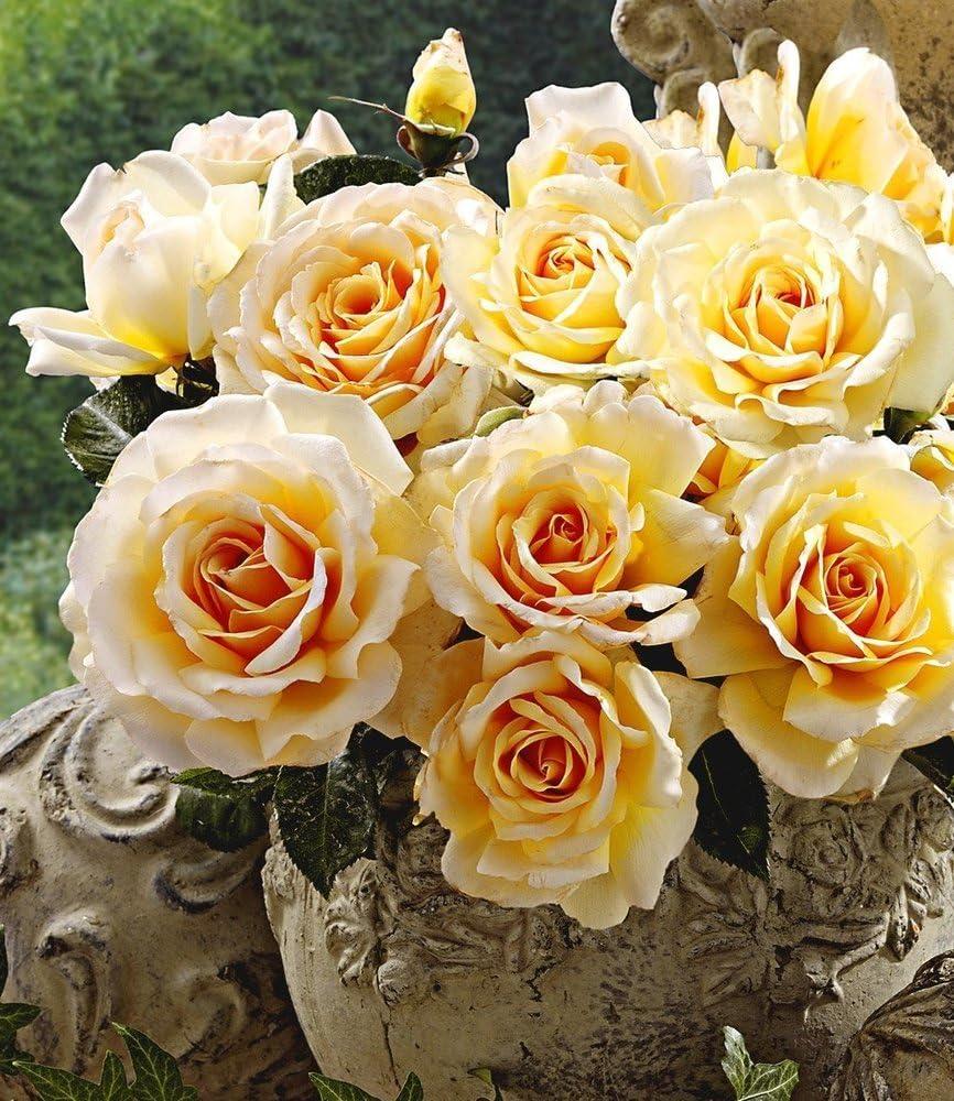 BALDUR-Garten Delbard® Angie - Frasco perfumado para jardín (1 planta): Amazon.es: Jardín