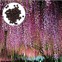 ScoutSeed 50 piezas: Wisteria Sinensis Sweet Seeds Raro