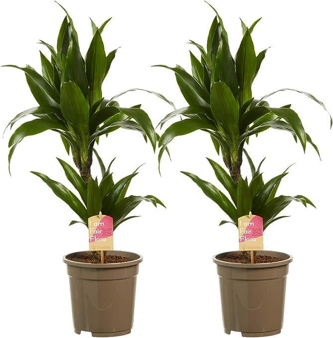 Plantas de interior – 2 × Árbol dragón – Altura: 70 cm: Amazon.es ...