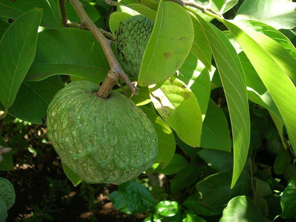 Annona cherimola Cherimoya Pflanze 10cm Rahmapfel Custard-apple Raritä t Frü chte Green Future Pflanzenhandel