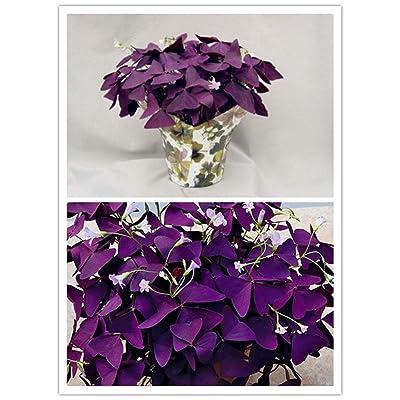 10 pcs Purple Shamrock- Oxalis triangularis Bulbs Easy Grow Perennial : Garden & Outdoor