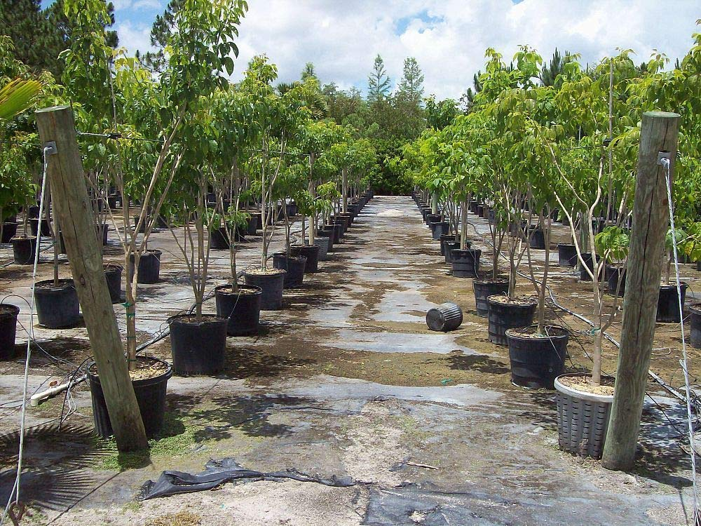 Tabebuia impetiginosa, Purple Trumpet Tree - 3 Gallon Live Plant