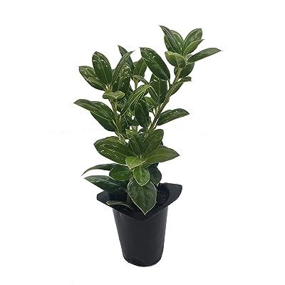 Dwarf Burford Holly Ilex Qty 40 Live Plants Evergreen Burfordi Shrub : Garden & Outdoor