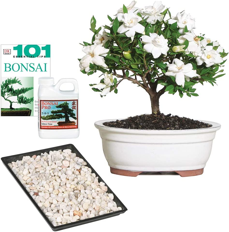 5 Years Old 8 To 10 Tall With Decorative Container Bonsai Pro Fertilizer Brussels Live Gardenia Outdoor Bonsai Tree Bonsai