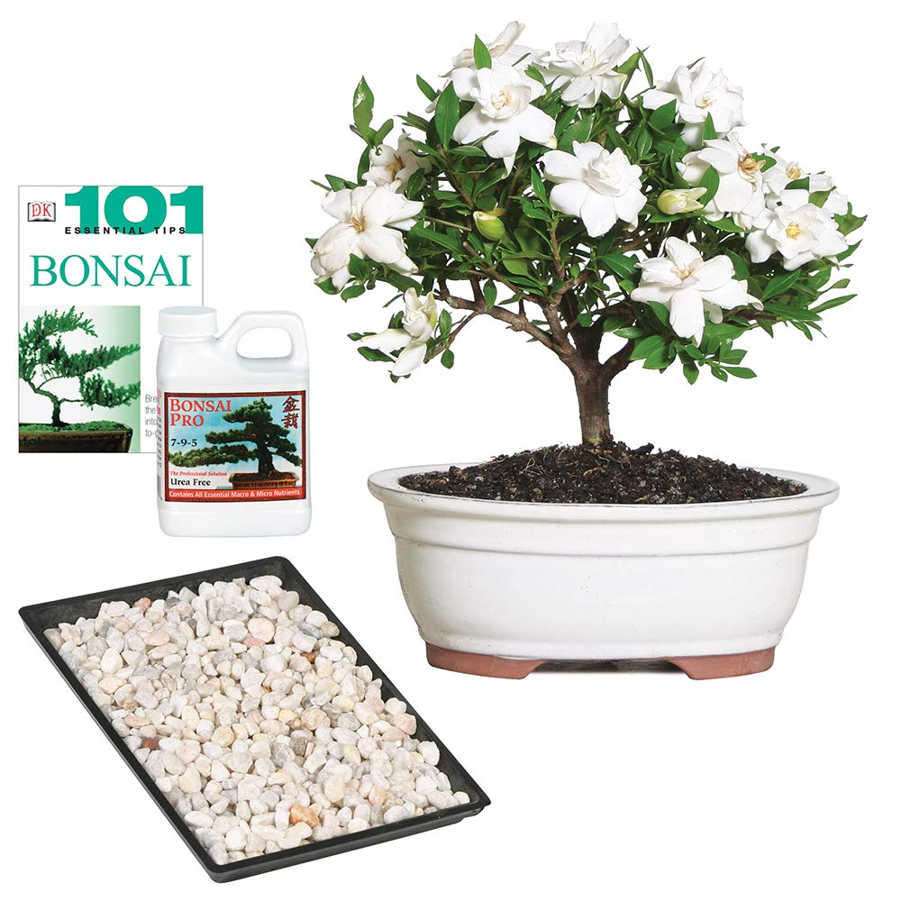Brussel's Bonsai Live Gardenia Outdoor Bonsai Tree - 4 Years Old 6'' to 8'' Tall with Decorative Container, Medium, by Brussel's Bonsai