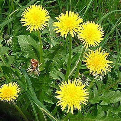 Dandelion, Taraxacum Officinale Variety Mix 100, 500, 1, 000, 5, 000 Or 10, 000+ Seeds - 500+ Seeds : Garden & Outdoor