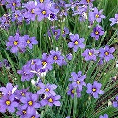 400 Seeds Blue-Eyed Grass (Sisyrinchium Bellum) : Garden & Outdoor