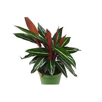"Stromanthe 'Sanguinea' - in 6"" Pot/Live Plant : Garden & Outdoor"