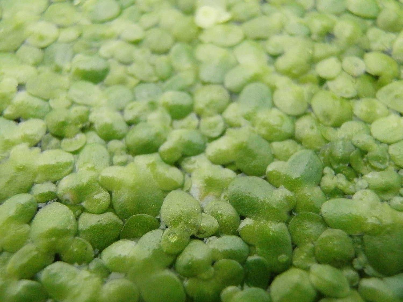 1000 Stk 1 Portion Wasserlinsen ca Lemna minor