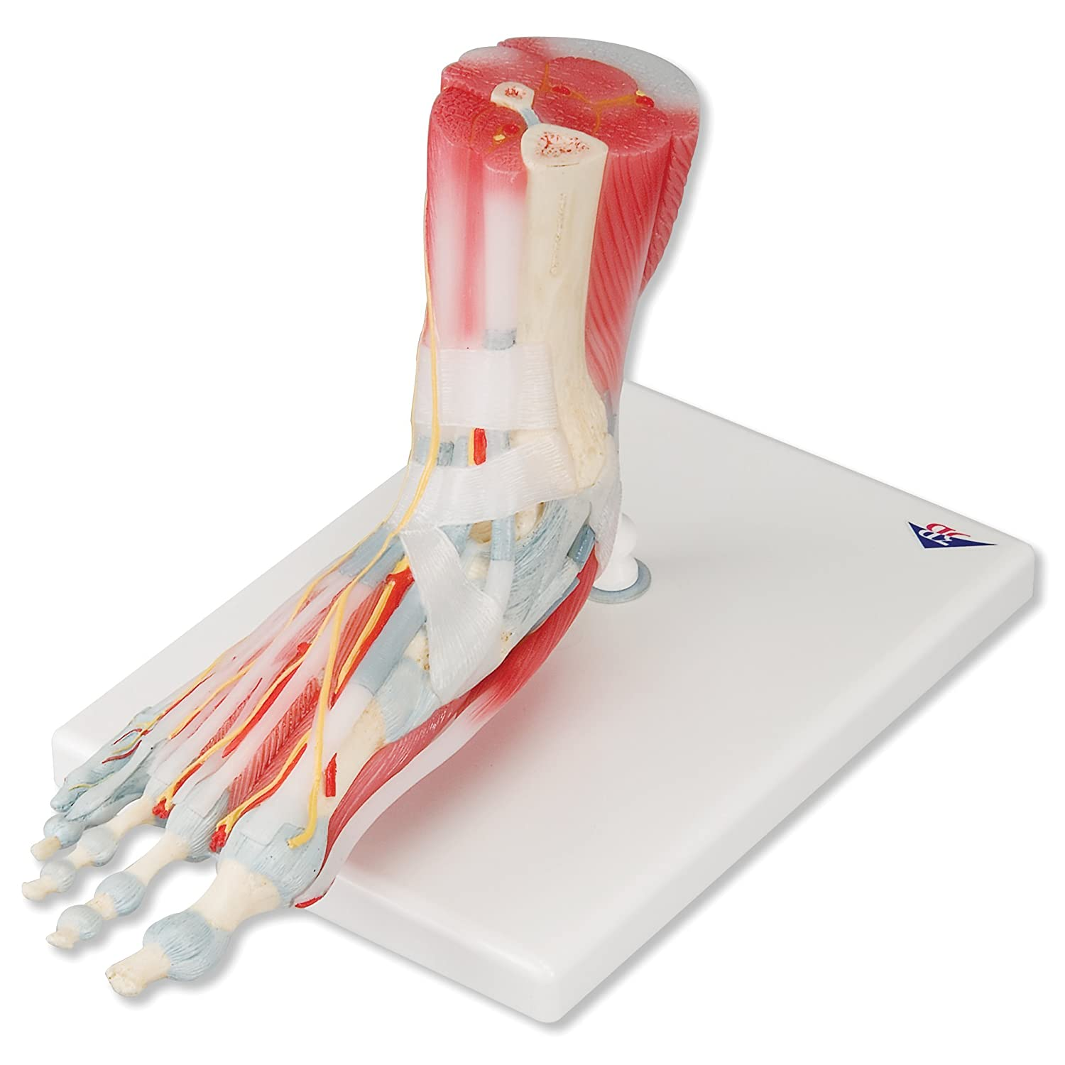 3B Scientific M34/1 Foot Skeleton Model with Ligaments and Muscles ...