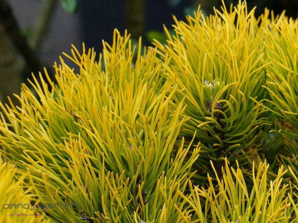 Zwerg-Berg-Kiefer `Carstens Wintergold´ (Pinus mugo) Größe 50-60 cm Pflanzenhöhe