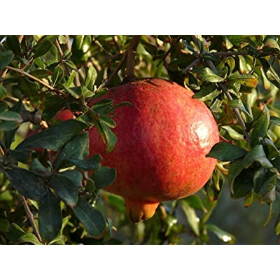 (1 Gallon) Dwarf Pomegranate-Compact Ornamental Shrub with Striking Coral red Flowers- : Garden & Outdoor