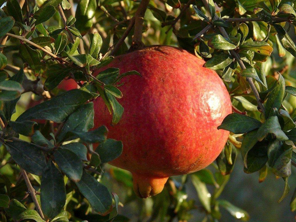 Kazake Hardy Pomegranate with Salavatski Live Plant - 1 Gallon