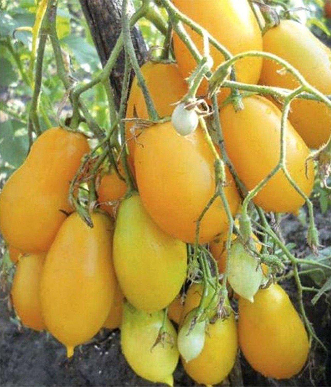 種子ゴールデントマトObereg - チャーム有機栽培ロシアの家宝の野菜 B00HBSWWBE