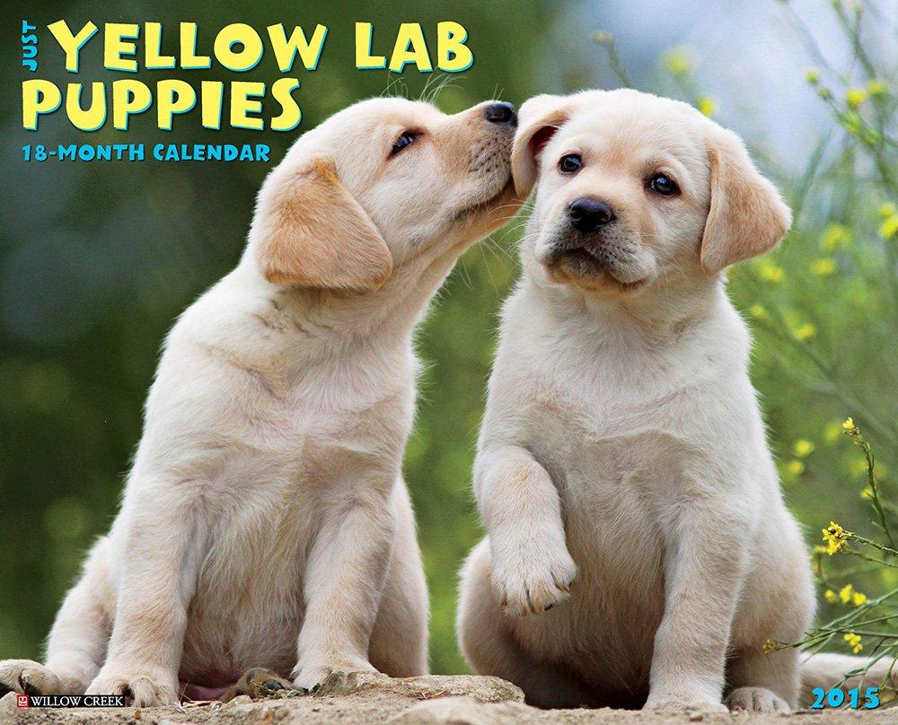 Yellow labrador retriever calendar