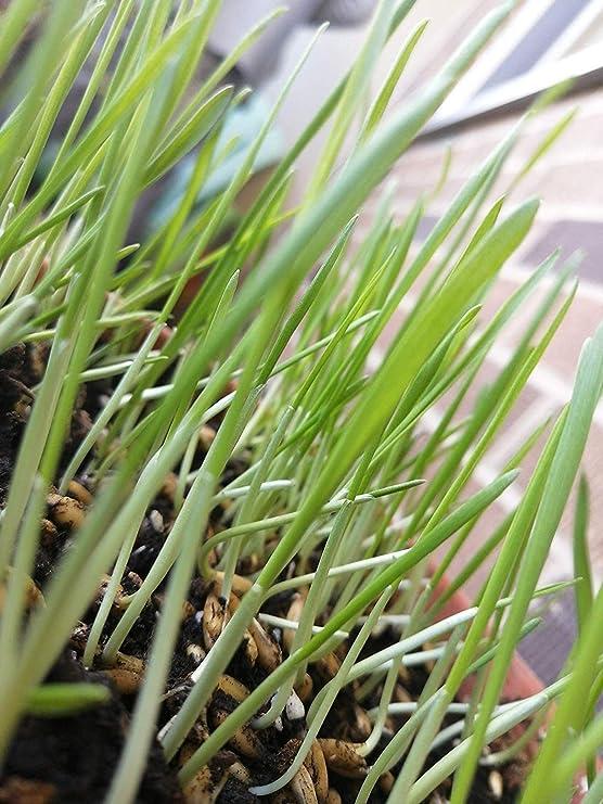 1 oz Panicum maximum Seeds Buffalo grass Seeds Guinea grass Seeds